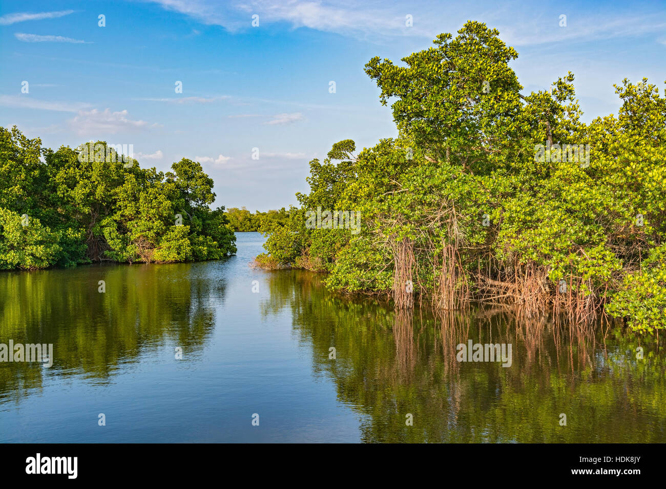 Florida, Sanibel Island, J.N. 'Ding' Darling National Wildlife Refuge, Wildlife Drive, Mangrove Trees - Stock Image