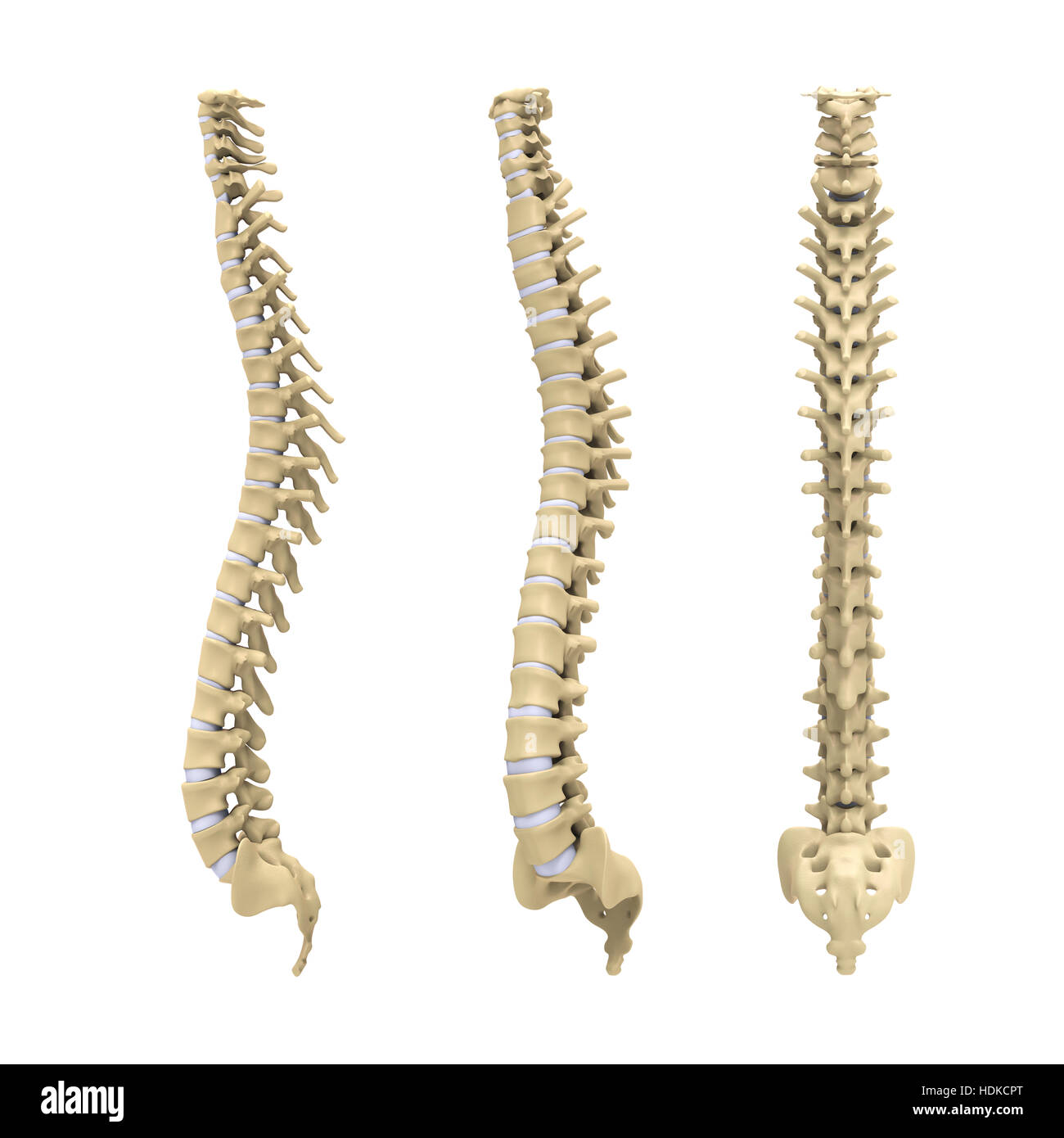 Spinal Cord Cut Out Stock Images Pictures Alamy