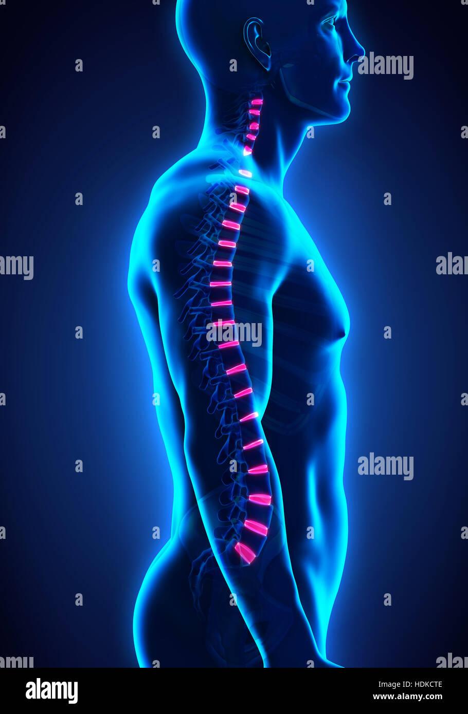 Backbone Intervertebral Disc Anatomy - Stock Image