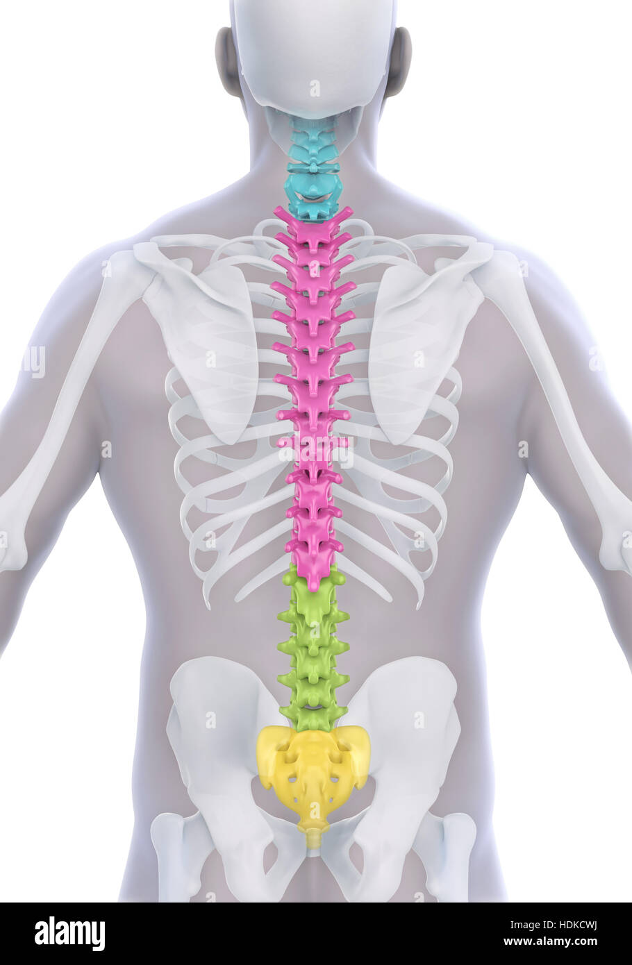 Cervical Spinal Cord Stock Photos Cervical Spinal Cord Stock