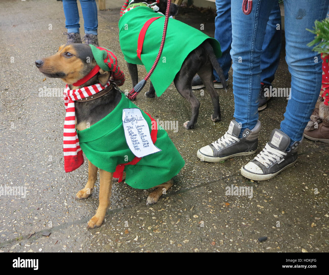 Small dog in Christmas fancy dress. The note pinned to his outfit says Naughty List followed by a list of names Stock Photo