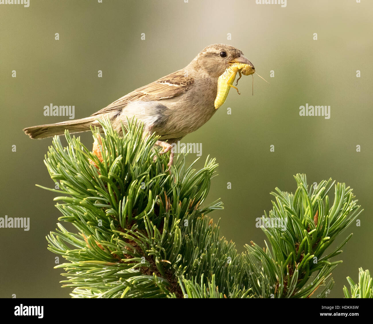 House finch with a grasshopper in its mouth perched on the branch of a pine tree. - Stock Image