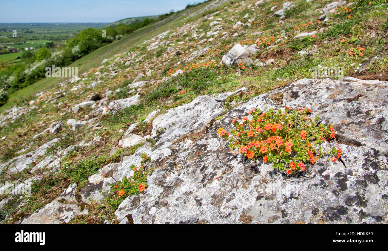 Scarlet pimpernel Anagallis arvensis growing on rocky limestone outcrops on Crook Peak in the western Mendips of - Stock Image
