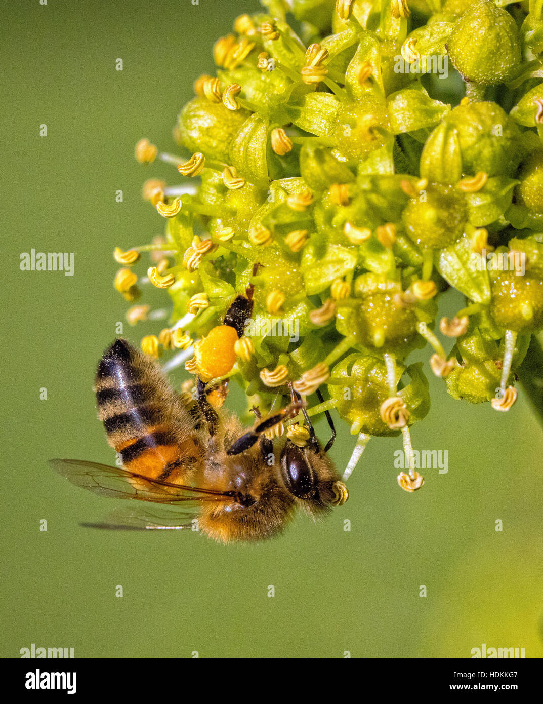 Western honey bee Apis mellifera feeding and collecting pollen from ivy flowers - Stock Image