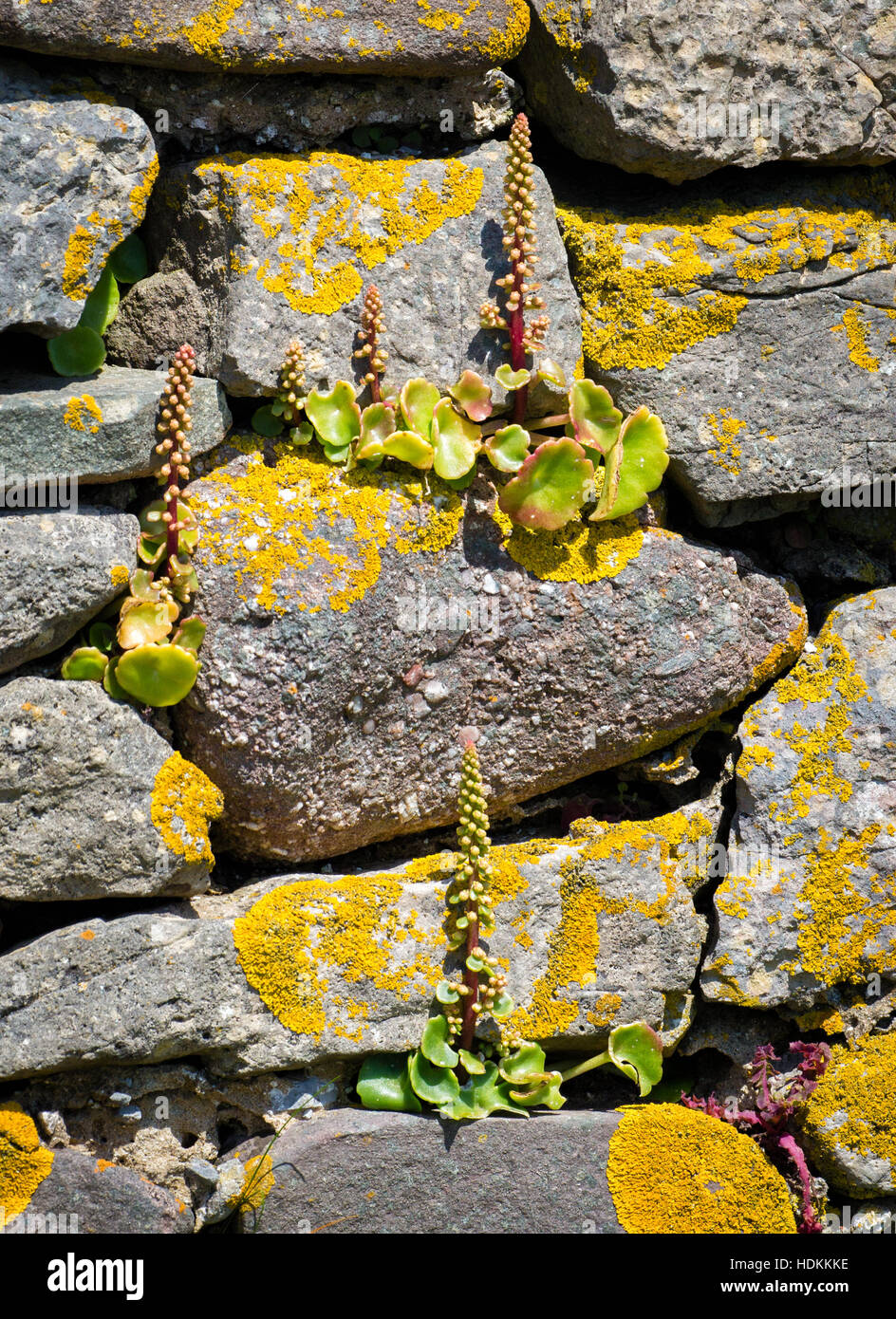 Wall pennywort or navelwort Umbilicus rupestris in typical habitat in the crevices of old stone walls on the Gower Stock Photo