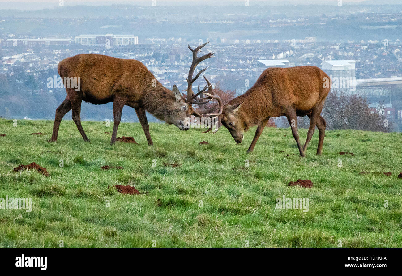 Mature red deer Cervus elaphus stags locking antlers at Ashton Court Bristol with the city behind them - Stock Image