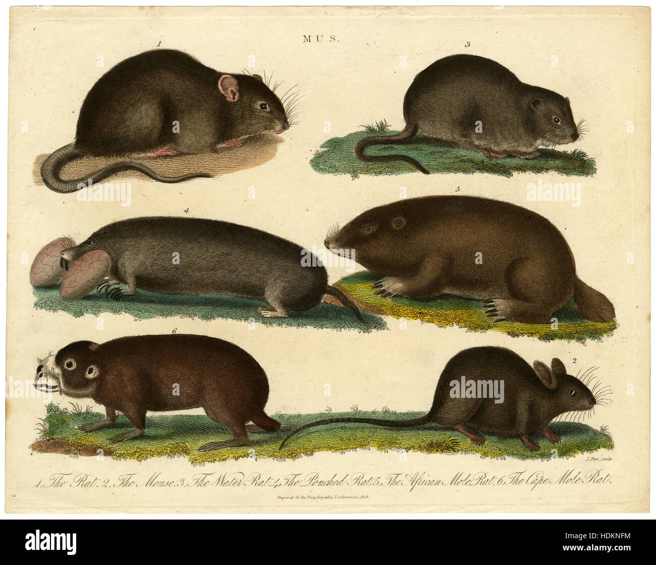 Antique 1818 engraving from the London Encyclopedia showing genus Mus — The Rat, The Mouse, The Water Rat, The Pouched - Stock Image