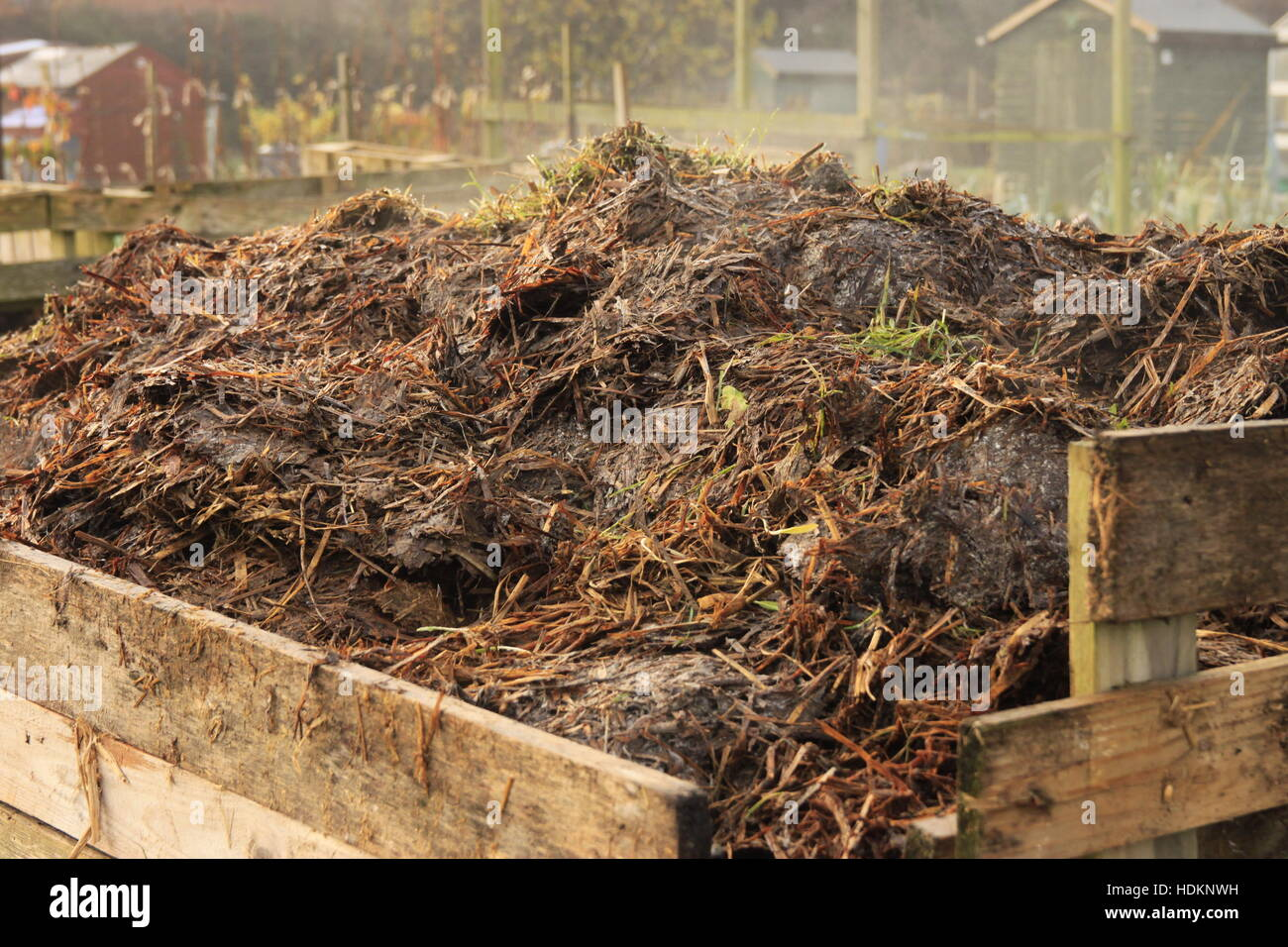 High Quality Steaming Horse Manure In Compost Bin On Allotment Garden   Organic Soil  Improver Fertilizer Beverley, Yorkshire Images