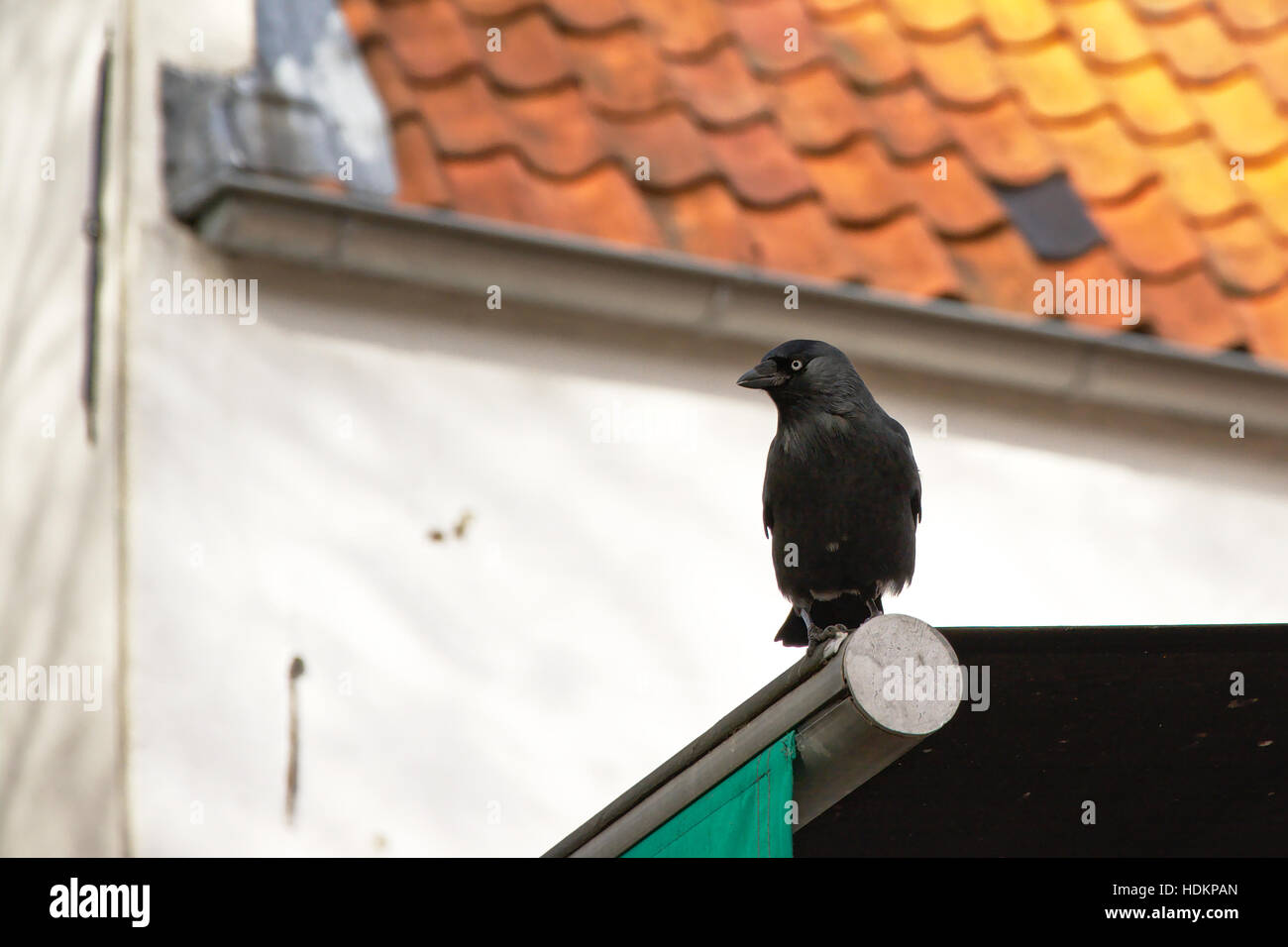 Black crow in the city, sitting on an awning with a white house in the background - Stock Image