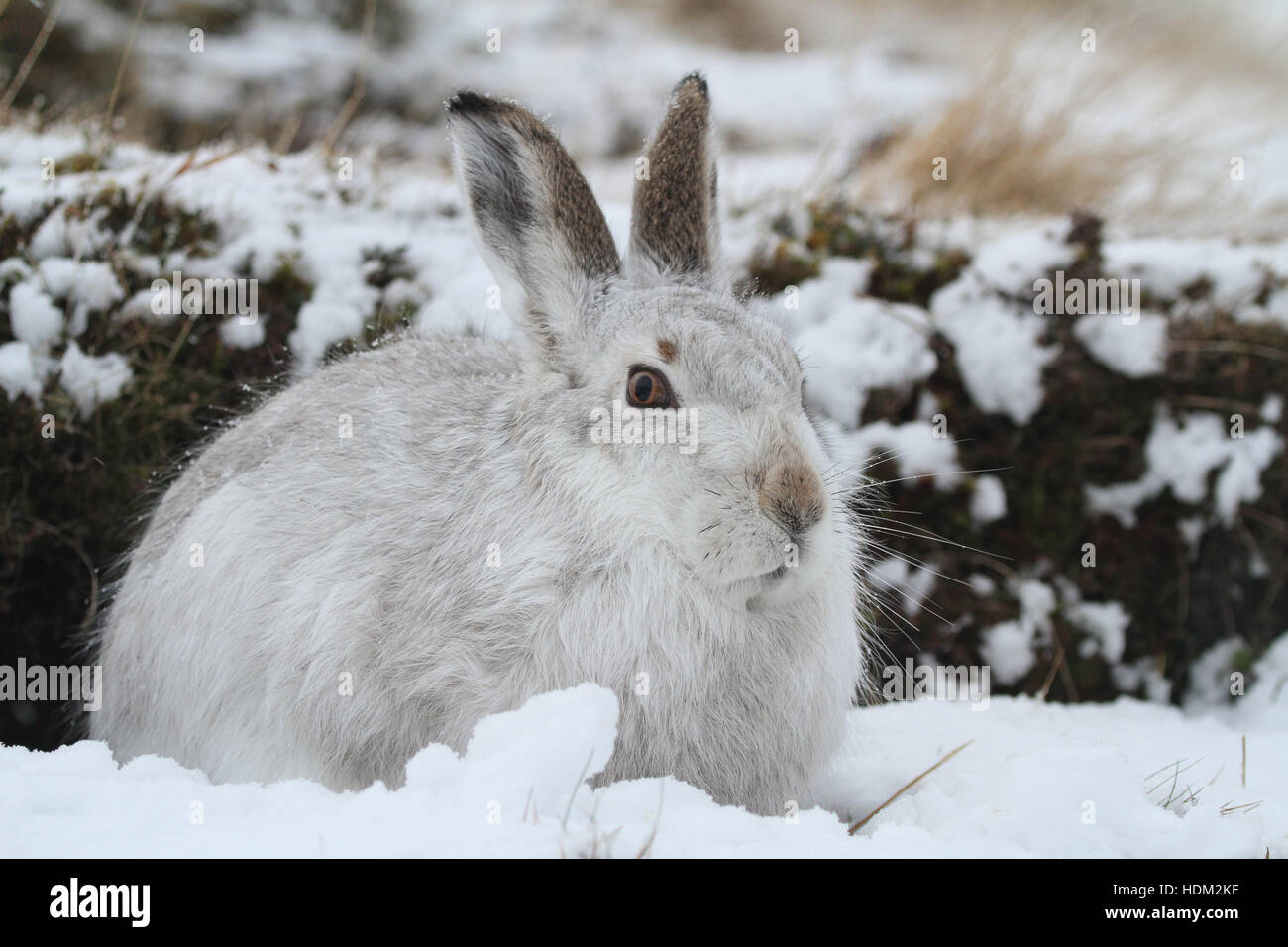 A Mountain Hare (Lepus timidus ) in its winter white coat , in a snow blizzard high in the Scottish mountains. - Stock Image