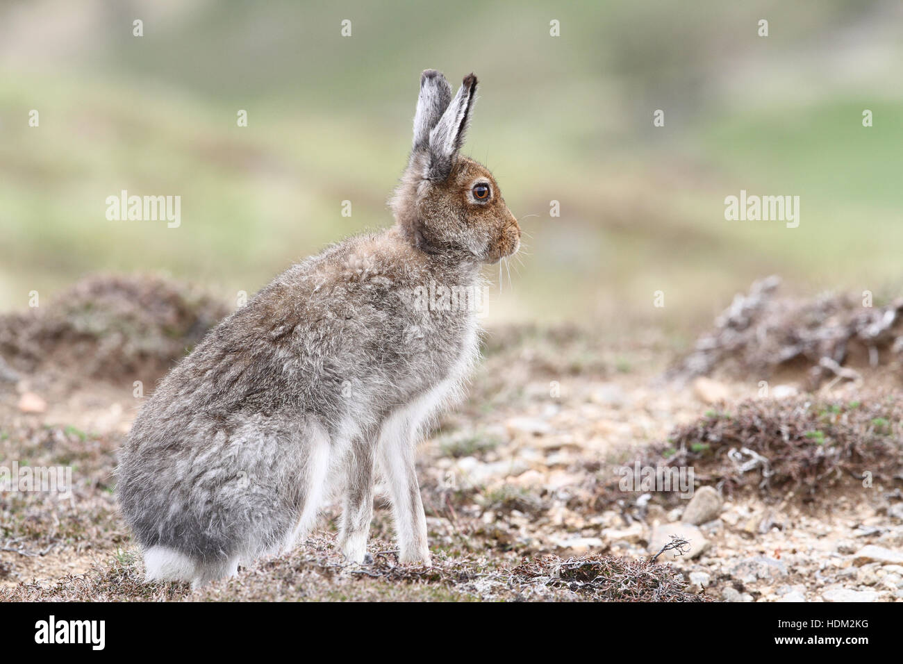 Mountain Hare (Lepus timidus) in the highlands of Scotland , in its summer brown coat, surveying the area. - Stock Image