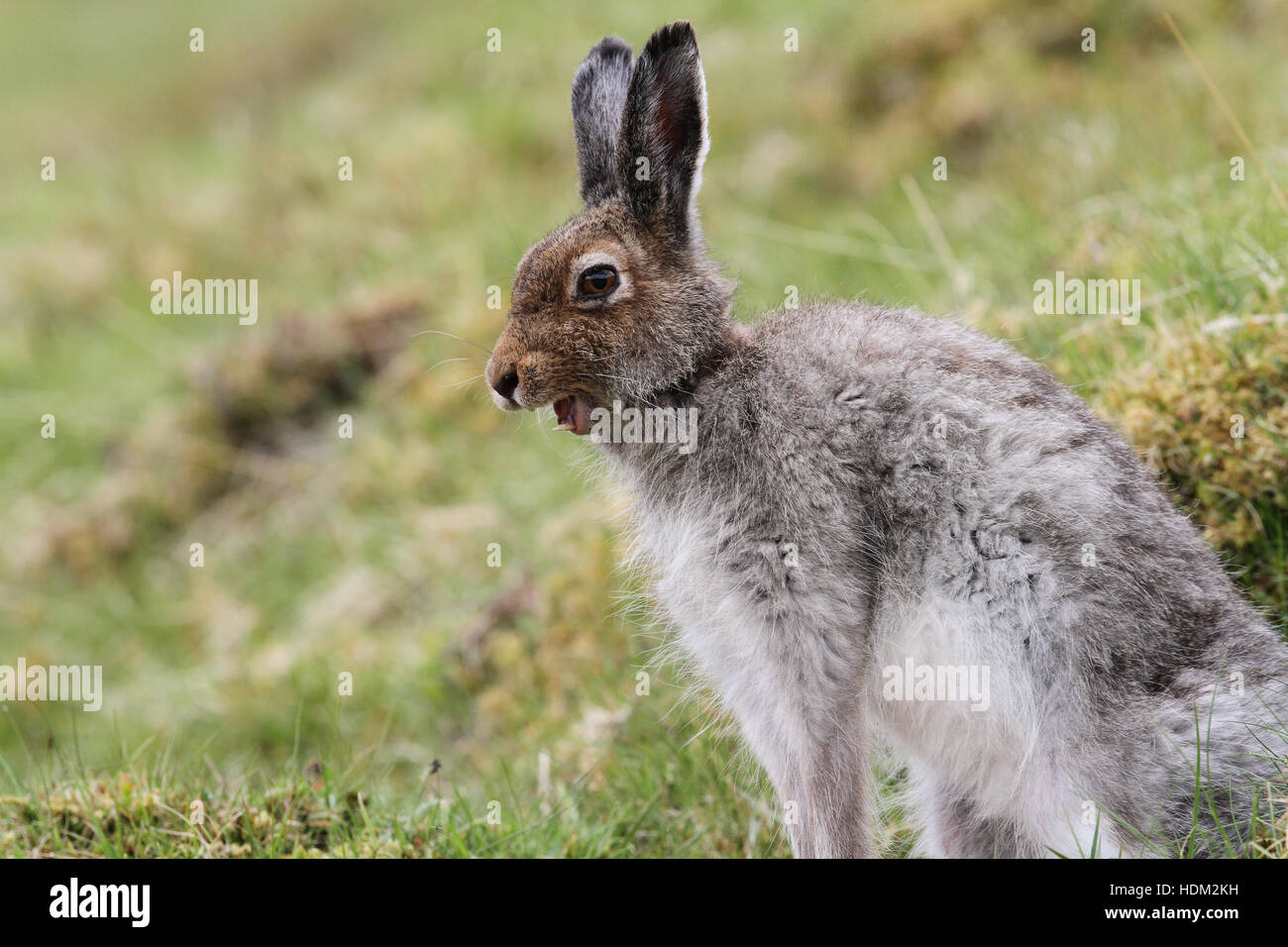 Mountain Hare (Lepus timidus) in the highlands of Scotland yawning. - Stock Image