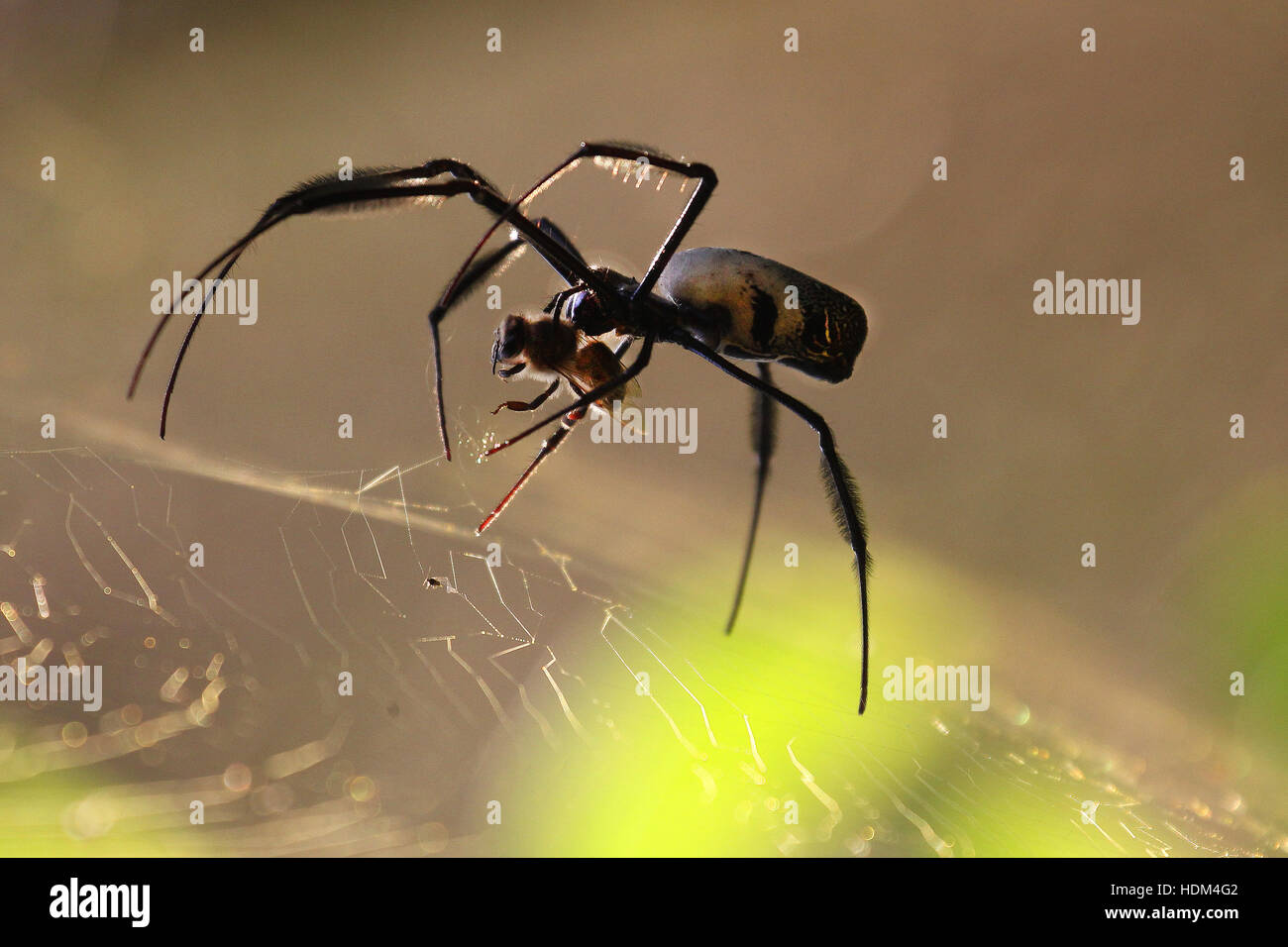 A golden orb-web spider paralysing a bee that has just been caught in the web. - Stock Image