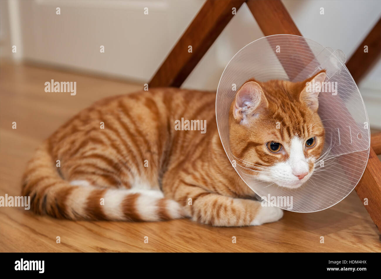 Image of ginger cat on the floor with cone. - Stock Image