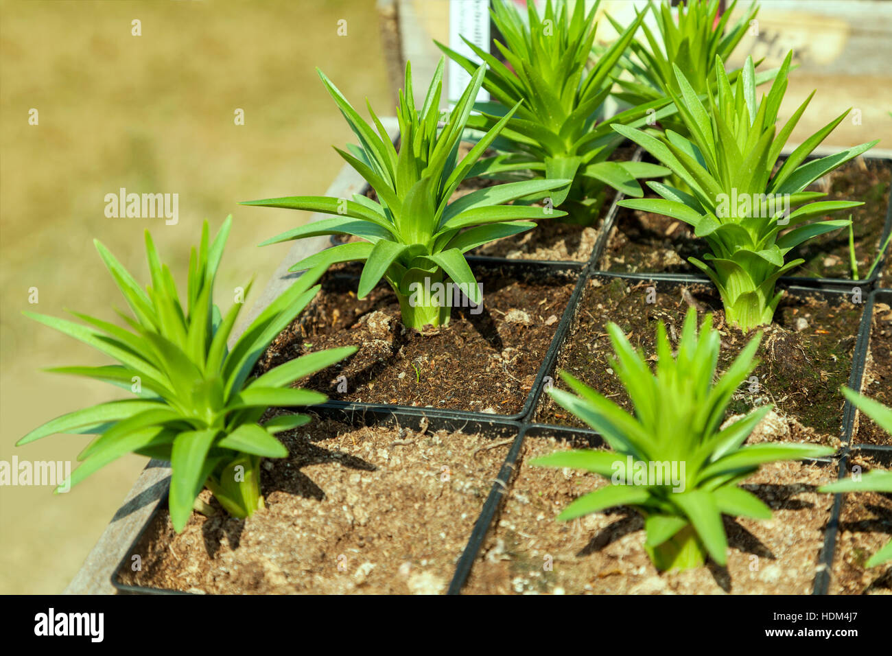 Image of small plant seedlings in a nursery. - Stock Image