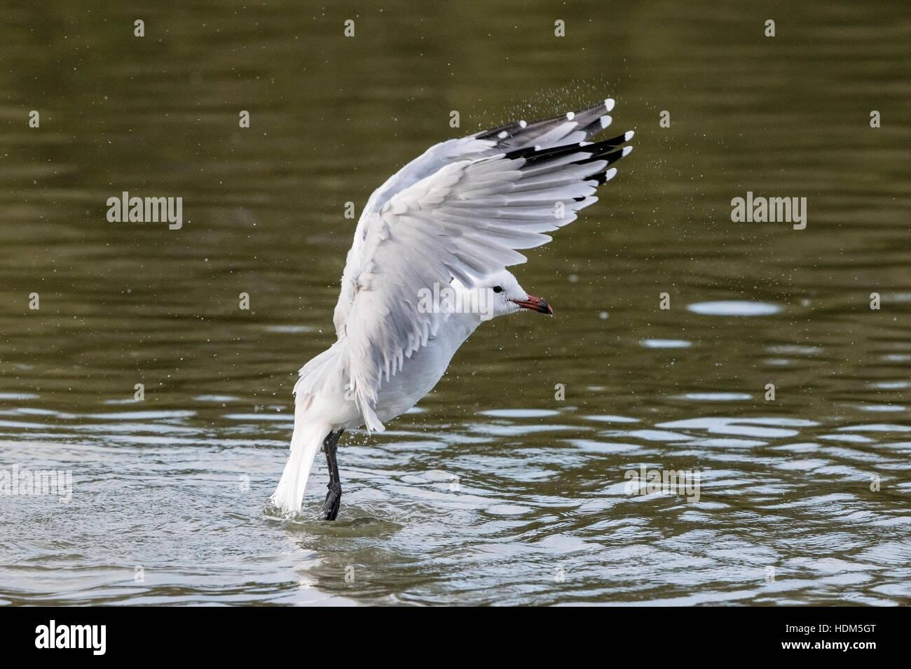 Audouin's gull (Ichthyaetus audouinii) single adult bathing in water, Mallorca, Balearic Islands - Stock Image