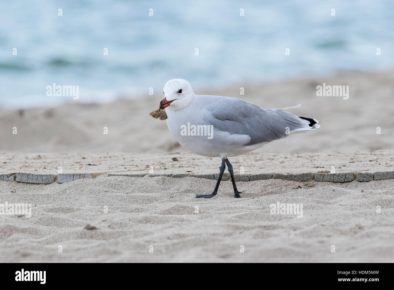 Audouin's gull (Ichthyaetus audouinii) single adult feeding on sandy beach, Mallorca, Balearic Islands - Stock Image