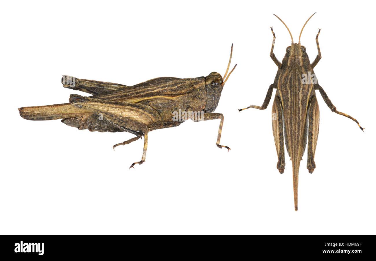 Slender Groundhopper - Tetrix subulata - Stock Image