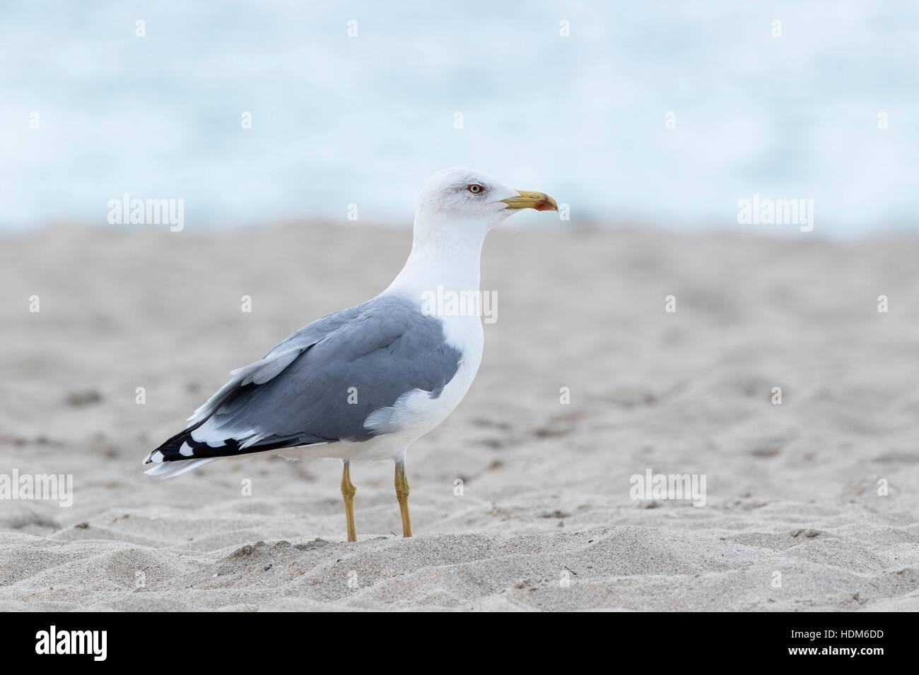 yellow-legged gull (Larus micahelis) adult standing on beach, Mallorca, Balearic Islands, Spain - Stock Image