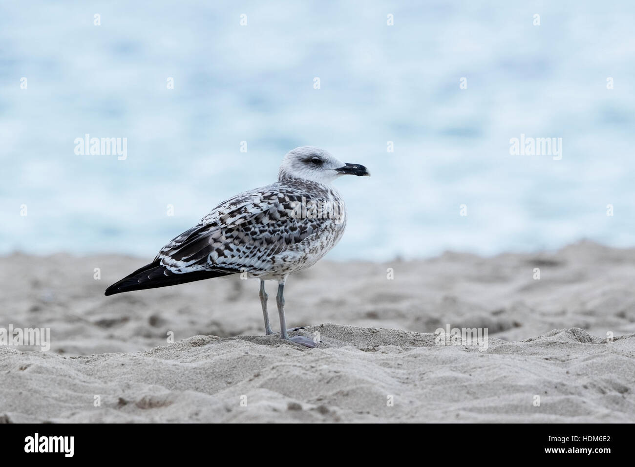 yellow-legged gull (Larus micahelis) juvenile standing on beach in Mallorca, Balearic Islands, Spain - Stock Image