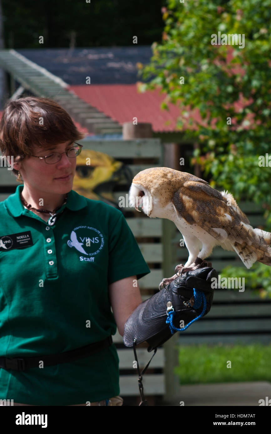 Vermont Institute of Natural Sciences, Quechee, Vermont, USA., a young rescued barn owl on the gloved hand of a - Stock Image