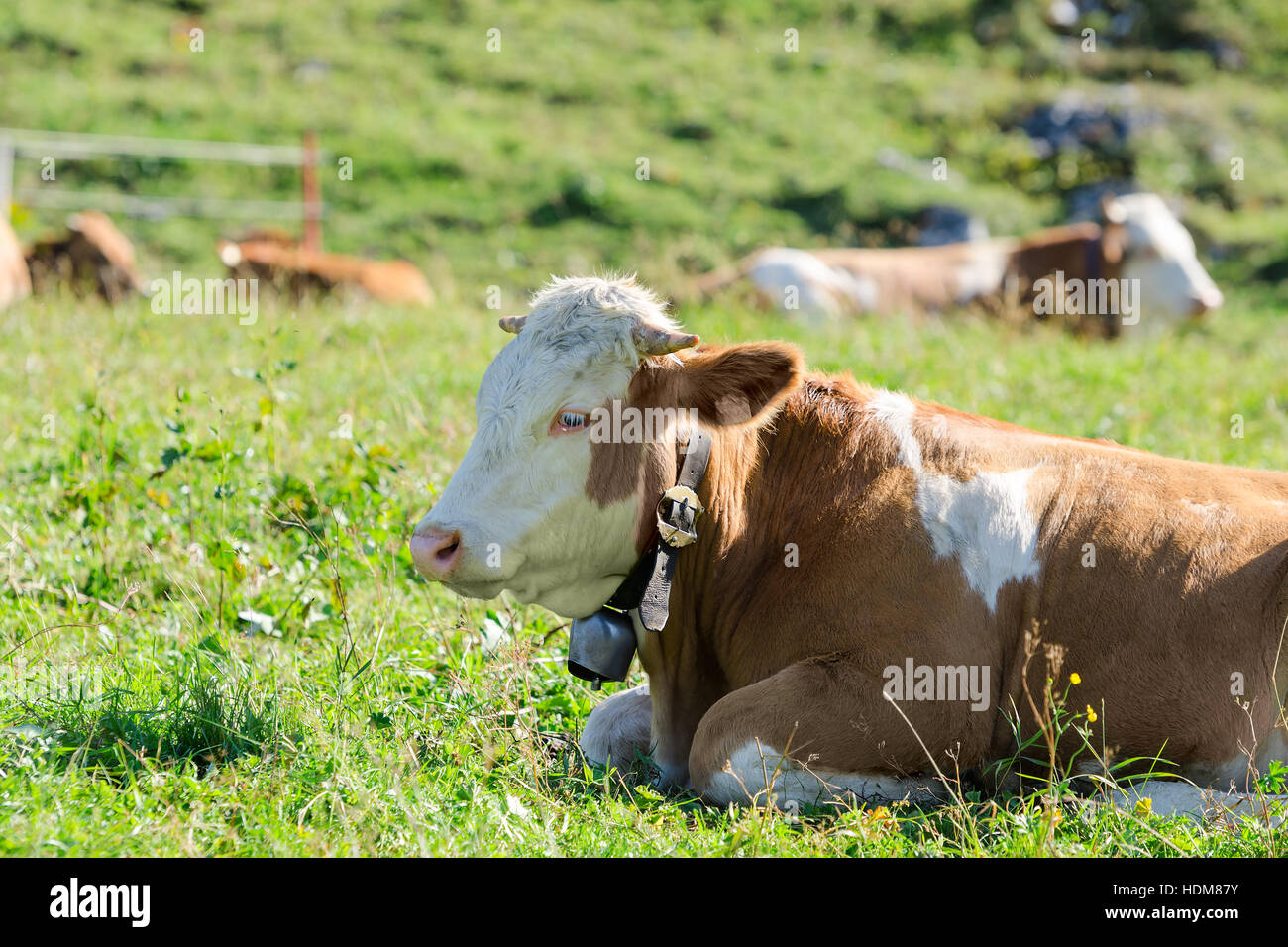 Herd of Hereford breed cows lying on sunshine spring Alpine pastureland - Stock Image