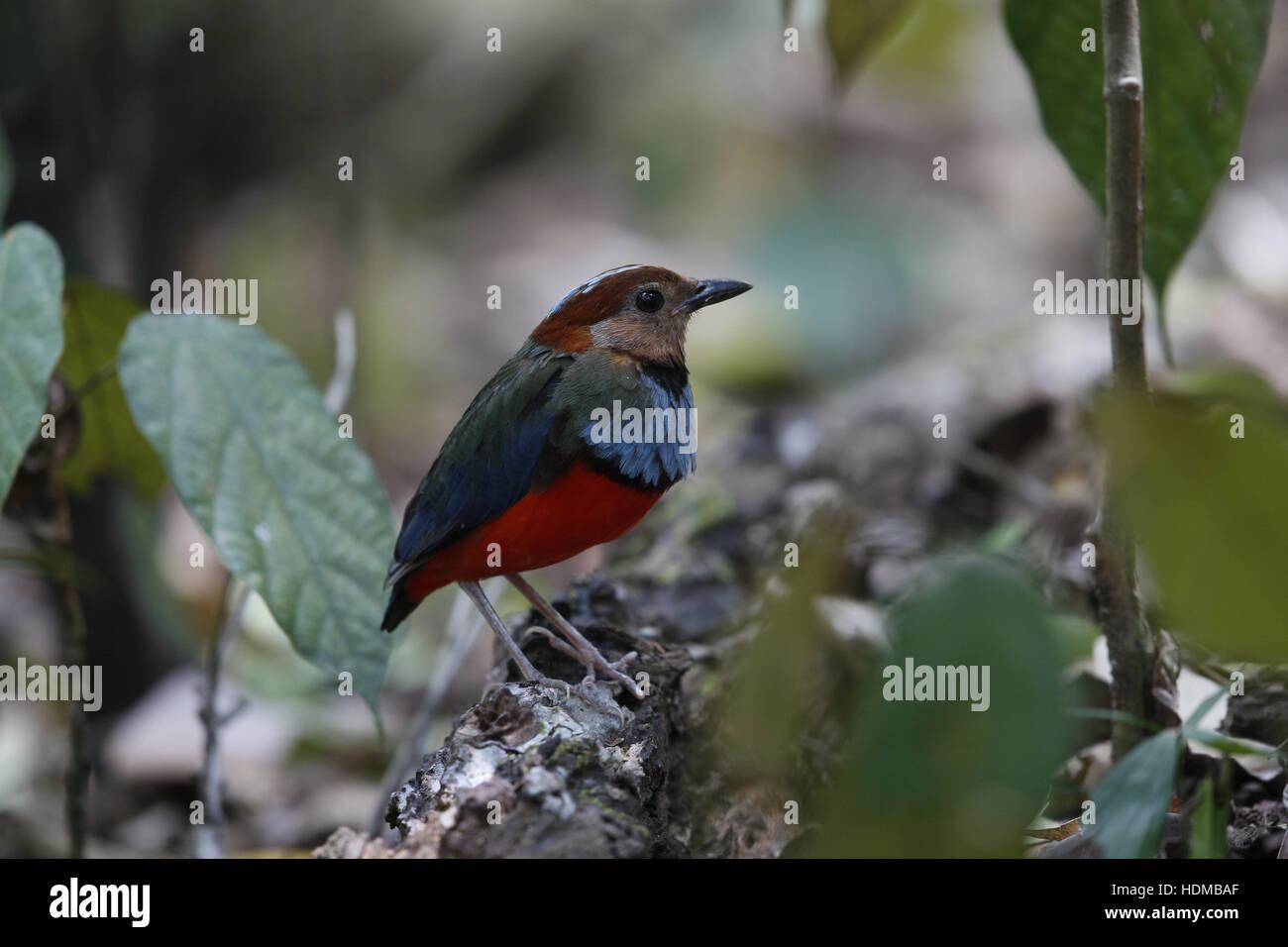 Sulawesi Pitta, Erythropitta (Pitta) celebensis - Stock Image