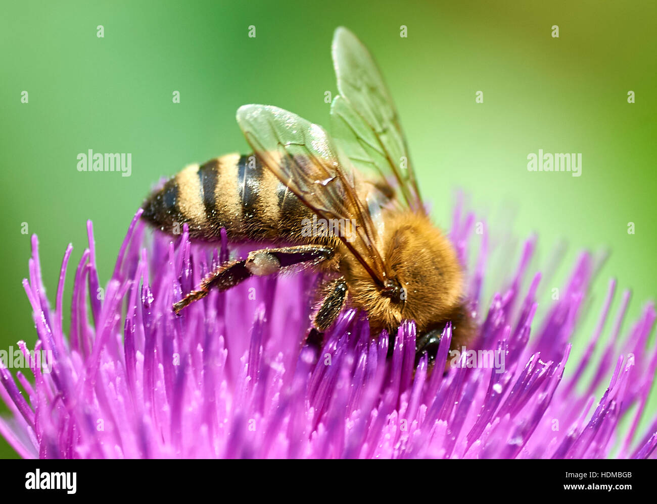 Bee collecting nectar from a Curly Plumeless Thistle - Stock Image