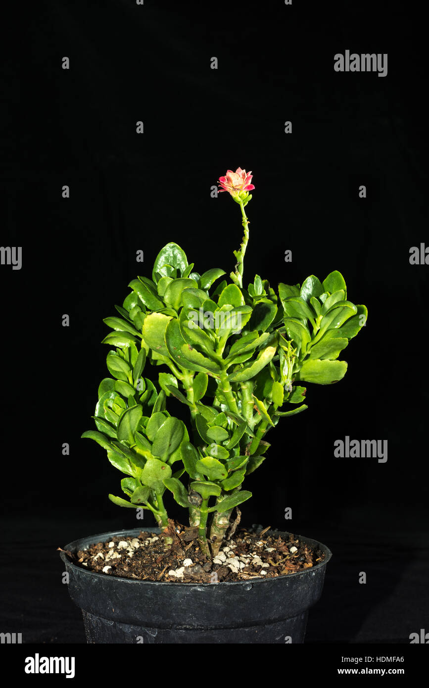 Kalanchoe Pinnata in a pot. © Reynold Sumayku - Stock Image
