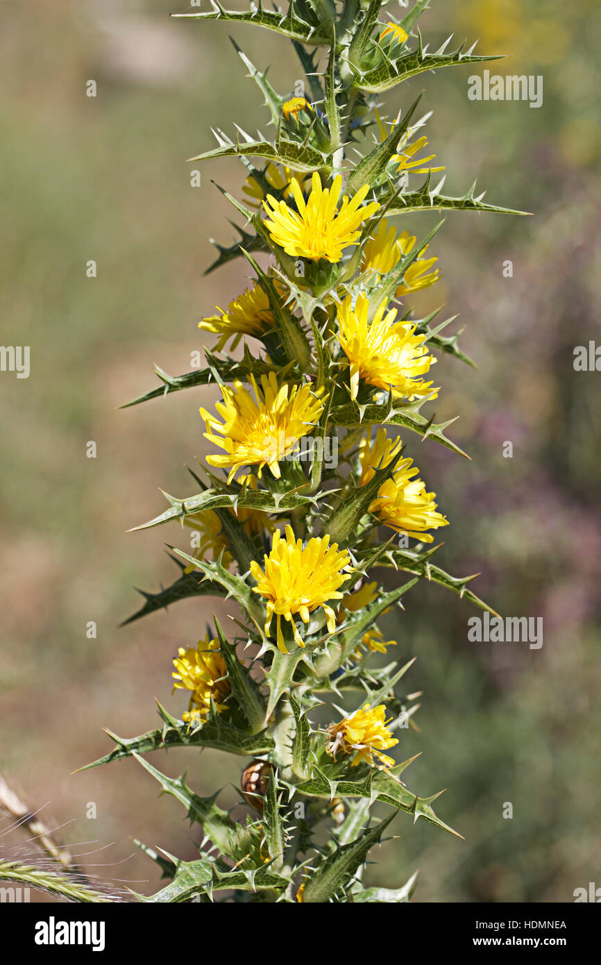 Yellow thistle flowers andalucia spain stock photo 128919010 alamy yellow thistle flowers andalucia spain mightylinksfo