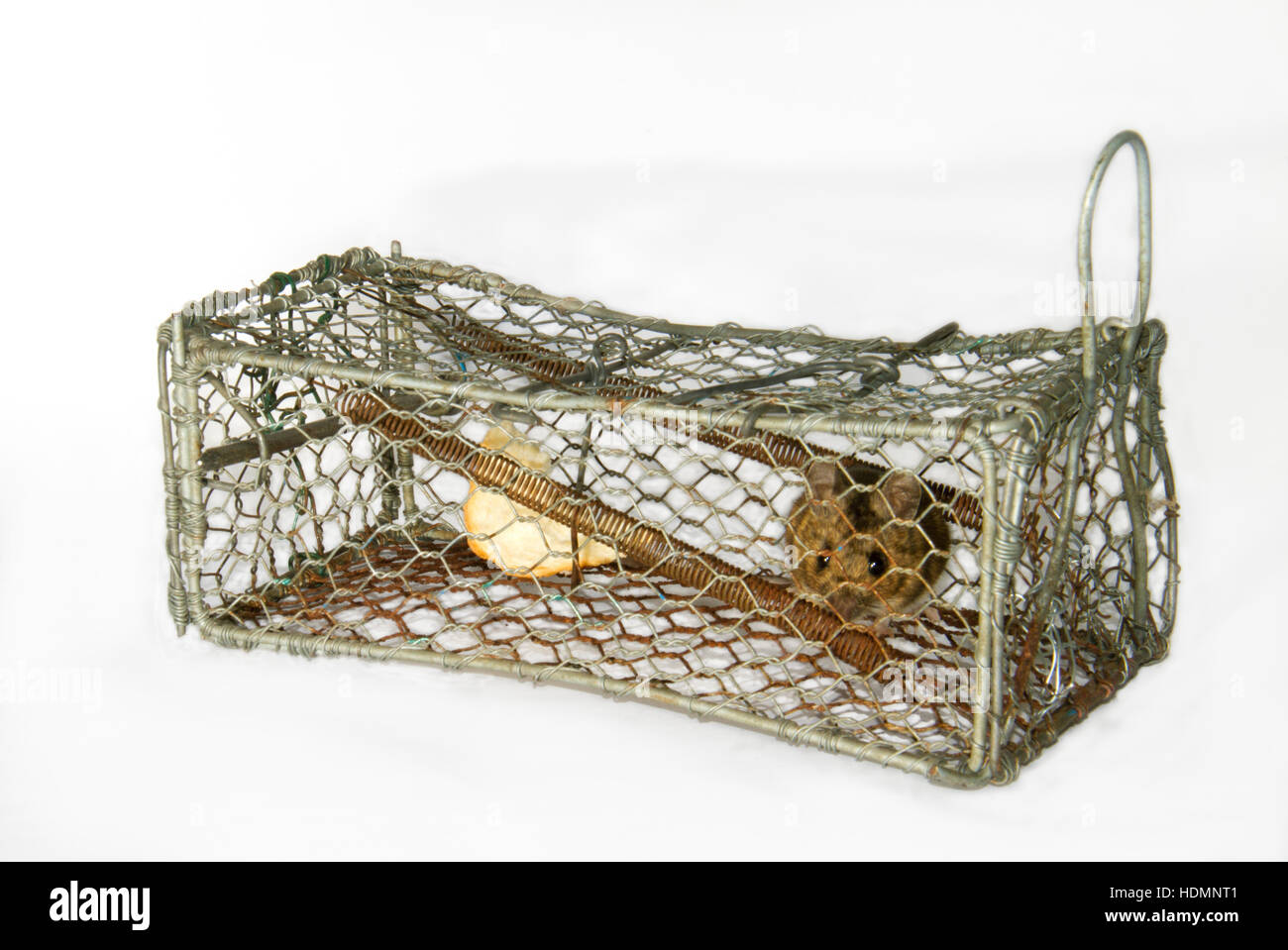 House mouse caught in a humane mouse trap - Stock Image