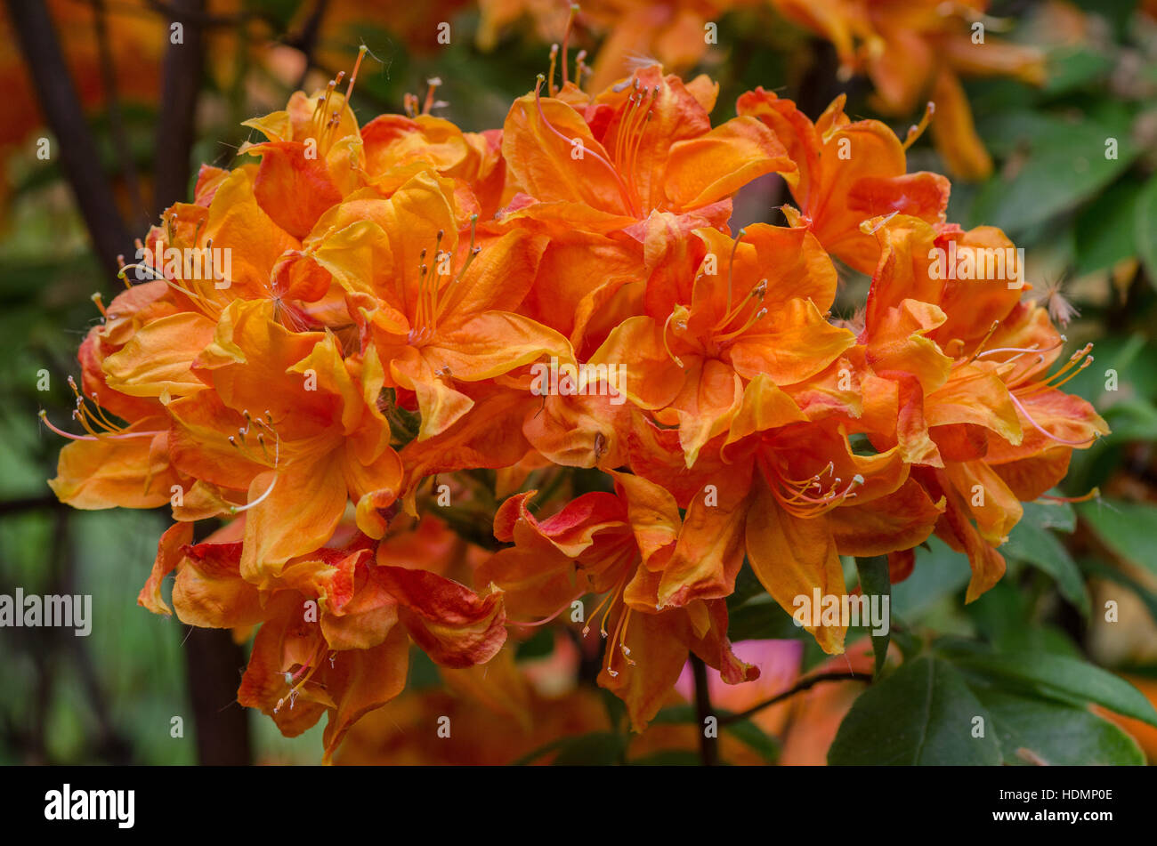 Salmon Colored Rich Rhododendron Flowers Stock Photos & Salmon ...