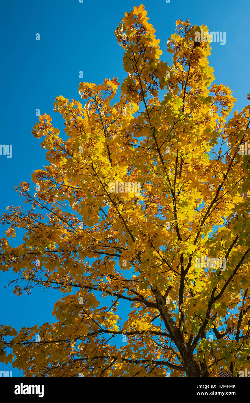 Yellow leaves in autumn, maple tree (Acer), Bavaria, Germany - Stock Image