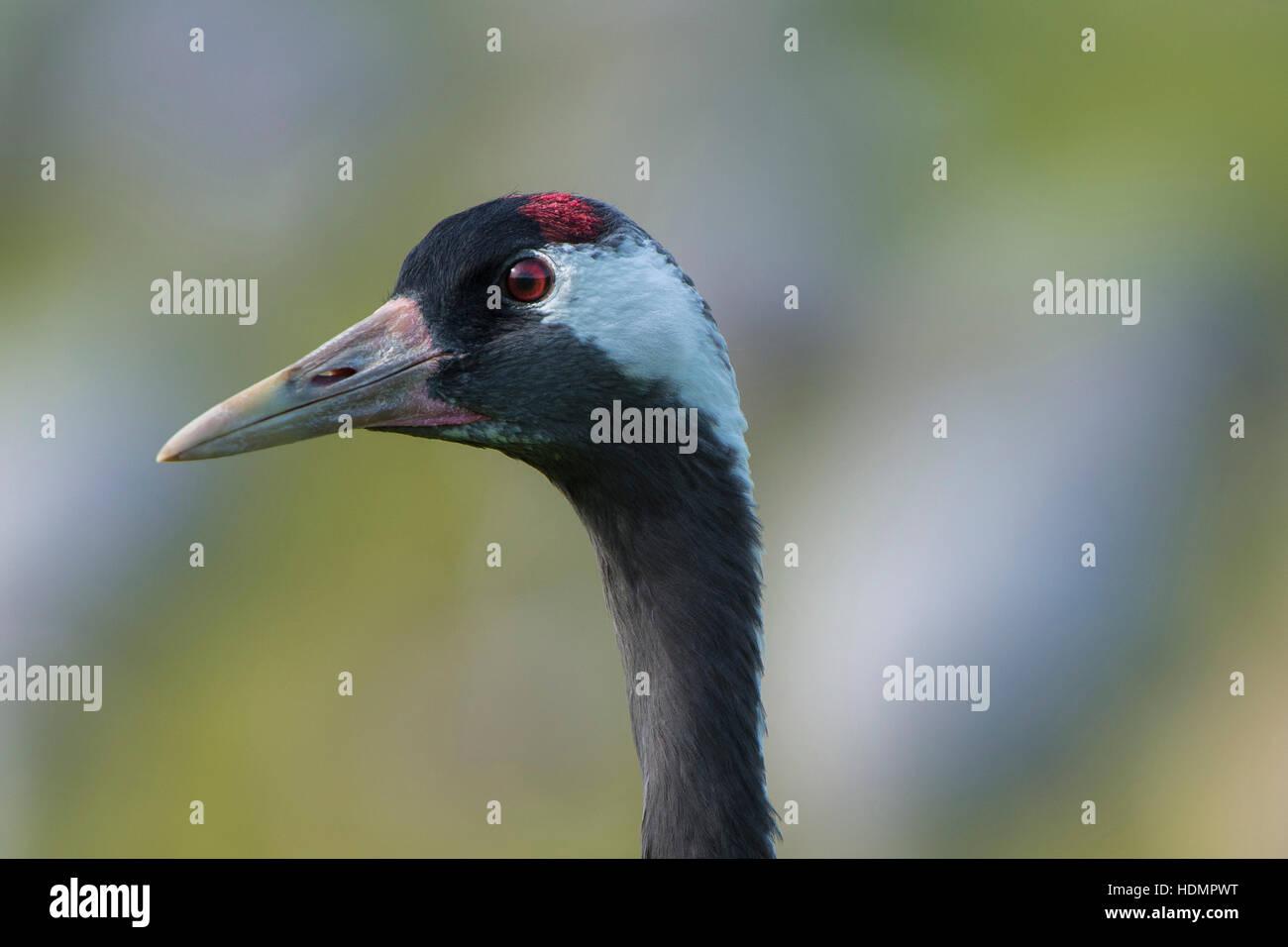 Common or European crane (Grus grus), portrait, migratory stopover site, Günzer See, Groß Mohrdorf - Stock Image