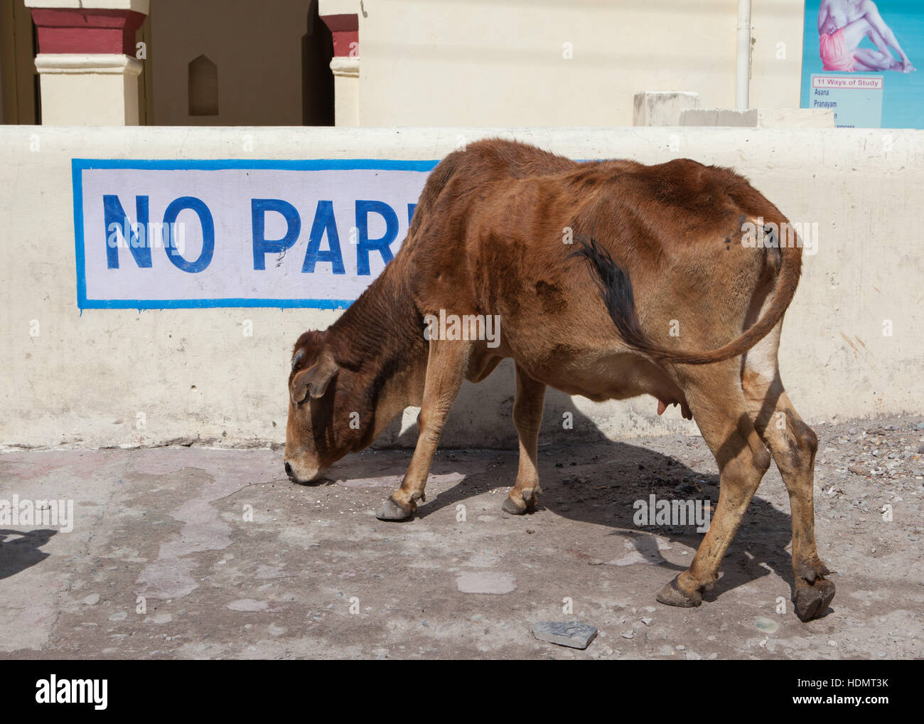 Cow looking for food under a No Parking sign in Rishikesh, India - Stock Image