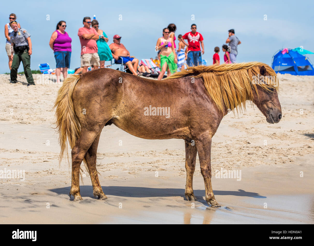 A Wild pony, horse, of Assateague Island, Maryland, USA on the beach. There are people on the beach watching the Stock Photo