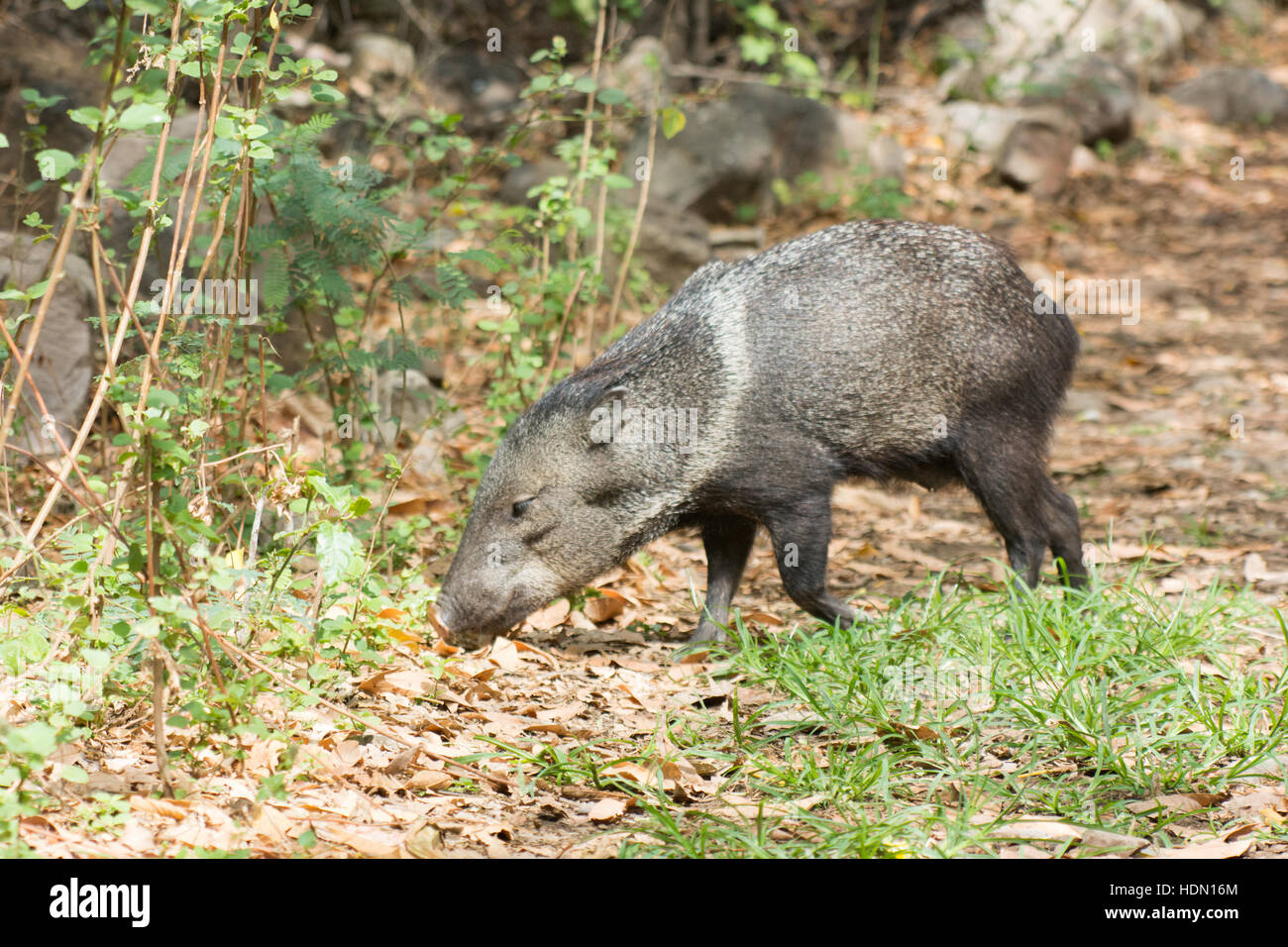 Side view of Collared Peccary (Pecari tajacu) in dry forest habitat at Chaparri Reserve in Chongoyape in northern Stock Photo
