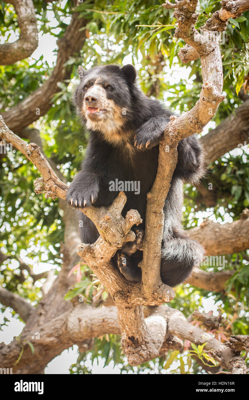 Peruvian Spectacled Bear or Andean Bear (Tremarctos ornatus) shows climbing ability on thin branch in tree in northern Stock Photo