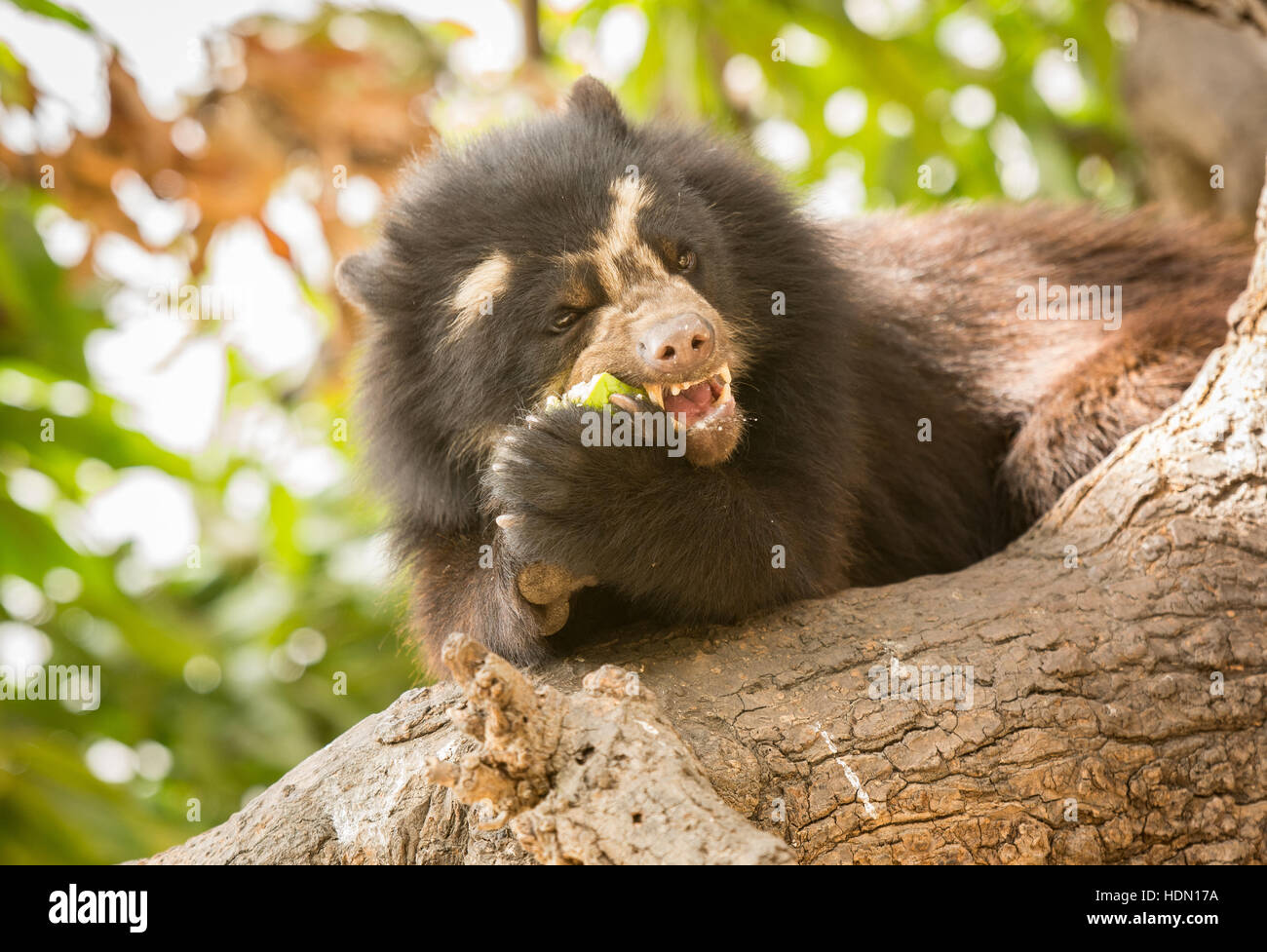 Peruvian Spectacled Bear or Andean Bear (Tremarctos ornatus) eating a mango in a tree at the Chaparri Reserve in Stock Photo
