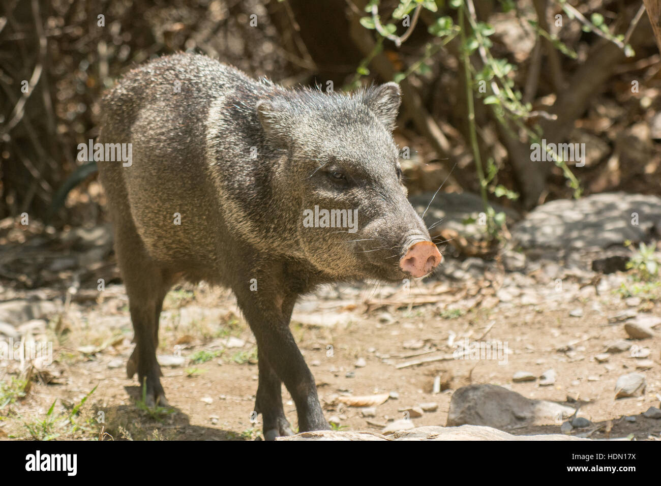 Collared Peccary (Pecari tajacu) in dry forest habitat at Chaparri Reserve in Chongoyape in northern Peru Stock Photo