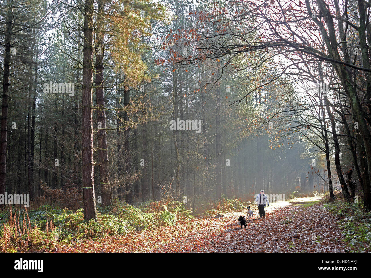Blidworth, Nottinghamshire, UK. 14th Dec, 2016. Unusually warm weather for winter brings out the dog walkers to - Stock Image