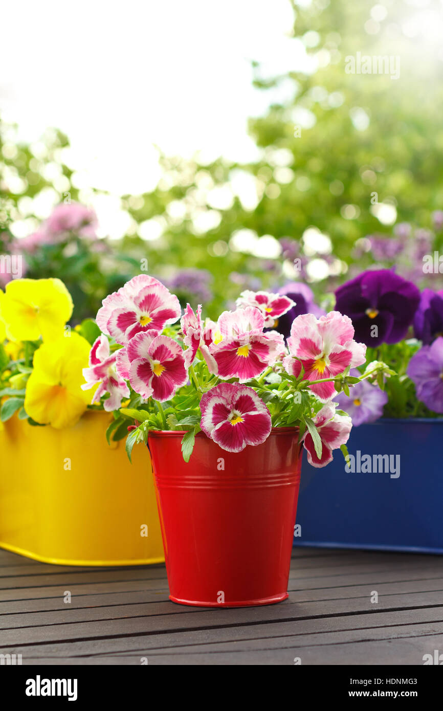 Pansy flowers in three intensive colors and pots on a balcony table ...