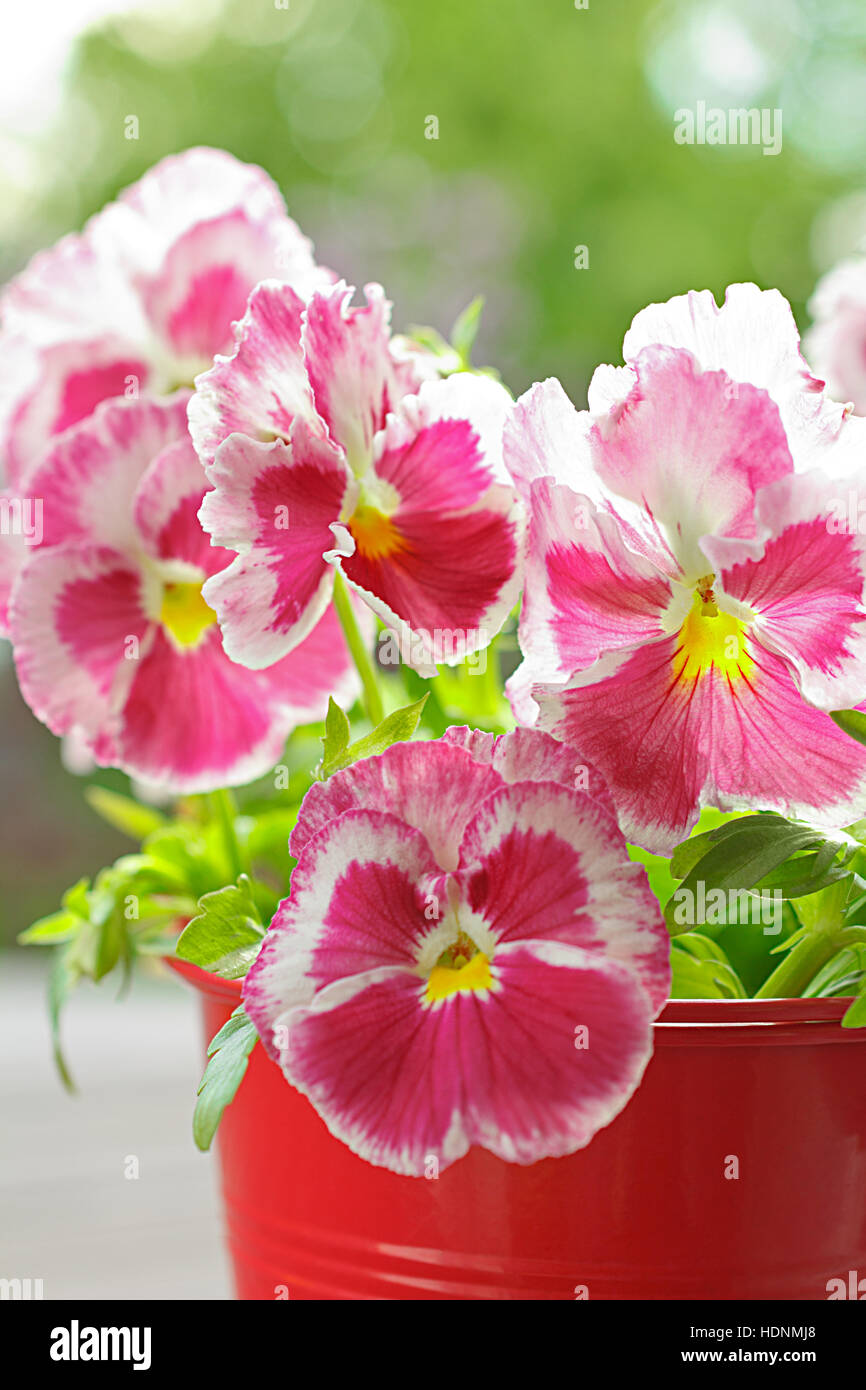 Red pansy flowers, viola wittrockiana, in a red pot, close up, copy or text space, background - Stock Image