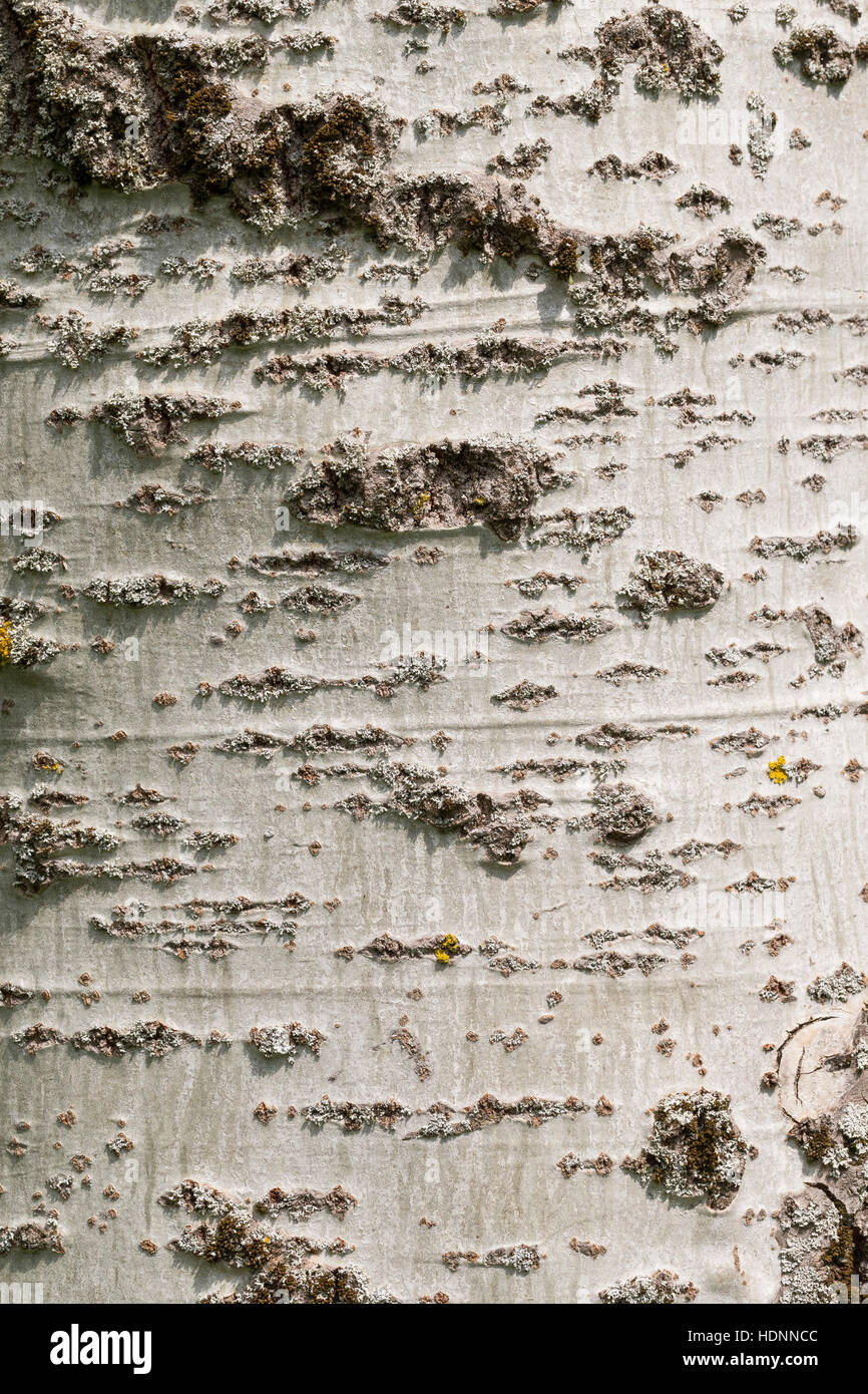 Silber-Pappel, Silberpappel, Pappel, Rinde, Borke, Stamm, Populus alba, White Poplar, bark, rind - Stock Image