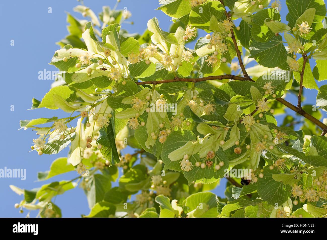 Sommer-Linde, Sommerlinde, Linde, Blüten, Blüte und Blätter, Blatt, Tilia platyphyllos, Large Leaved Lime Stock Photo