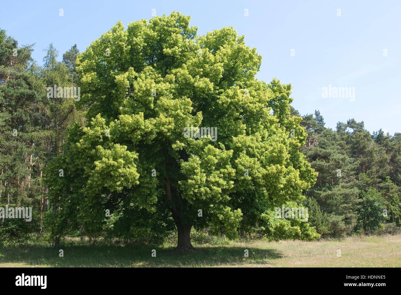 Sommer-Linde, Sommerlinde, Linde, Tilia platyphyllos, Large Leaved Lime Stock Photo
