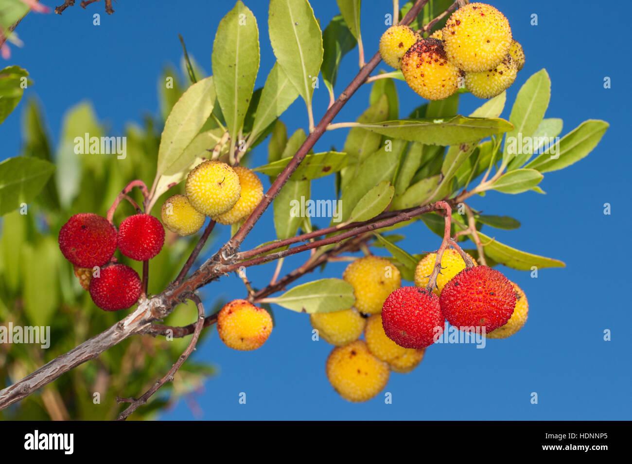 """Seltene Früchte am Baum Erdbeerbaum /""""Arbutus unedo/"""""""