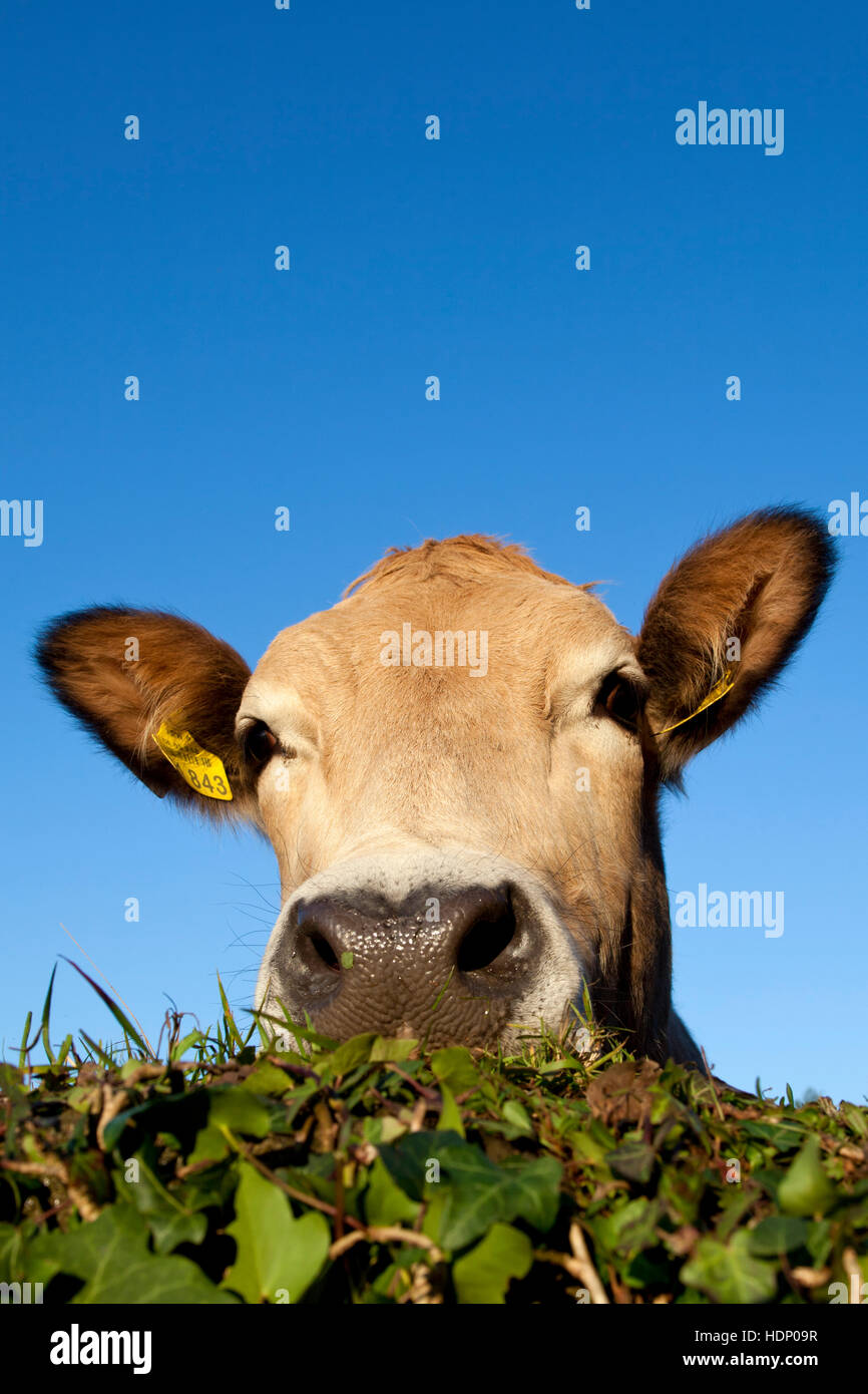 Europe, Germany, North Rhine-Westphalia, Herdecke, cow is looking over an ivy covered wall. - Stock Image