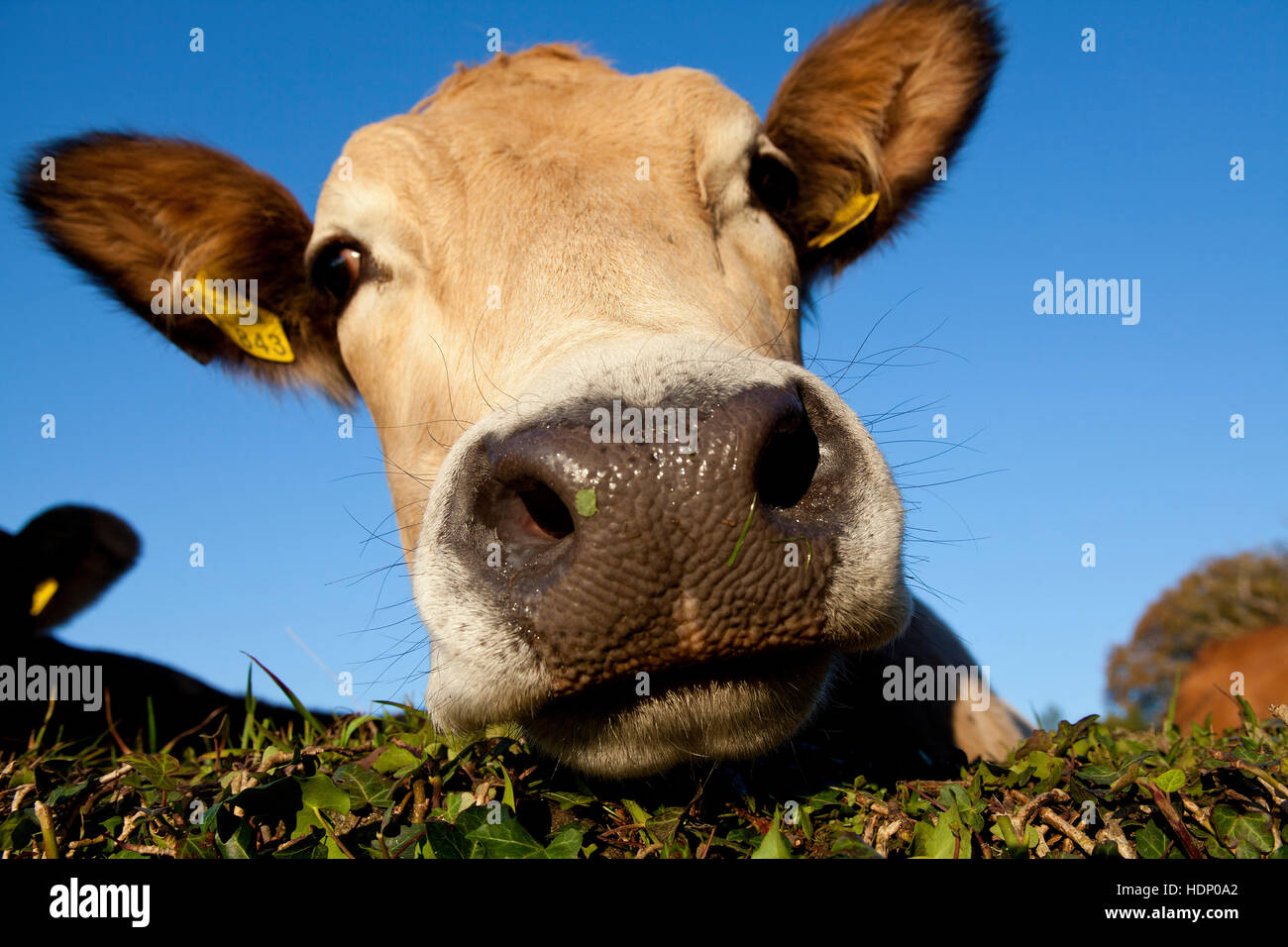 Europe, Germany, North Rhine-Westphalia, Herdecke, cow is looking over an ivy covered wall. Stock Photo