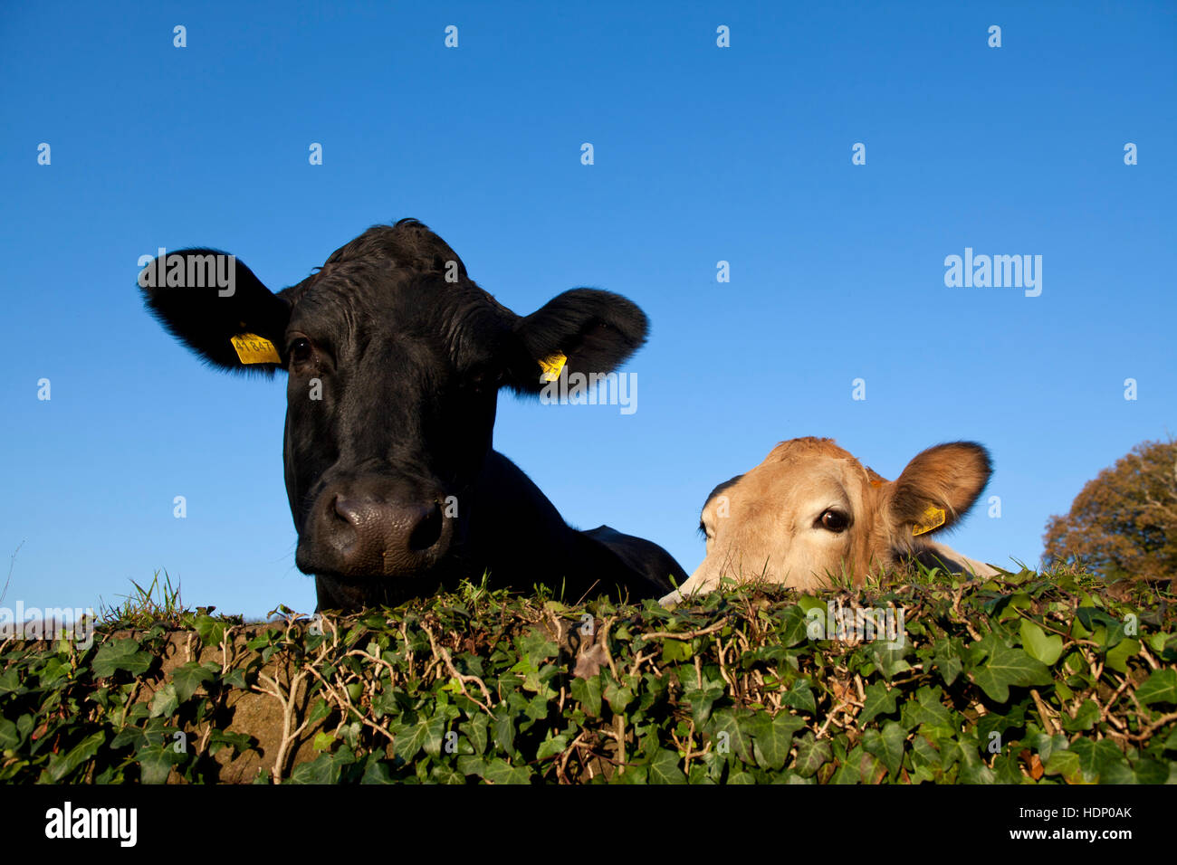 Europe, Germany, North Rhine-Westphalia, Herdecke, cows are looking over an ivy covered wall. Stock Photo